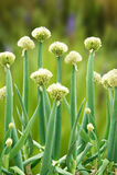Periodo di fioritura di scallion Immagine Stock