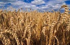 Periodo ridotto dorato del grano prima del raccolto nella fine dell'estate Fotografie Stock
