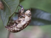 Periostracum cicada Royalty Free Stock Images
