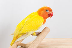 Periquito amarelo dobro Foto de Stock