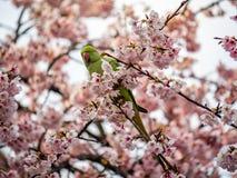 Periquito anillado de Rose en el ?rbol japon?s 7 de Sakura fotos de archivo libres de regalías