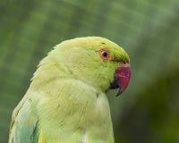 Periquito Anillo-necked indio Fotografía de archivo