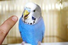Periquito australiano azul novo e dedo humano Foto de Stock Royalty Free