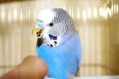 Periquito australiano azul novo e dedo humano Fotos de Stock