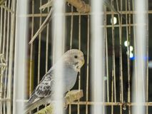 periquito australiano Branco-colorido que aparece entre as caudas da gaiola e na gaiola imagem de stock royalty free