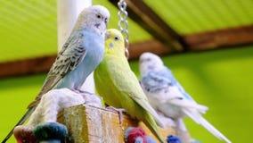 Periquito australiano no jardim zoológico do contato Animais de estimação home filme