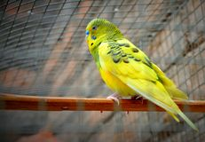 Periquito australiano um pássaro amarelo bonito fotografia de stock royalty free