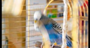 Periquito azul masculino que juega con una campana en la jaula almacen de metraje de vídeo