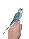 Periquito azul que se sienta a mano imágenes de archivo libres de regalías