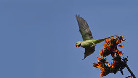 Periquito del alejandrino en el parque nacional de Bardia, Nepal Imagen de archivo libre de regalías