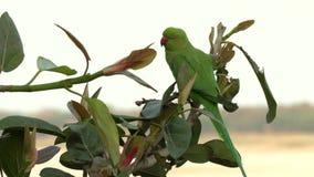Periquito Rosa-rodeado do papagaio verde selvagem, Psittacula Krameri em Varanasi, Índia, vídeo da metragem 4K video estoque