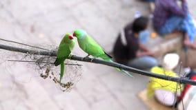 Periquito Rose-anillado del loro verde salvaje, Psittacula Krameri en Varanasi, la India, vídeo de la cantidad 4K metrajes