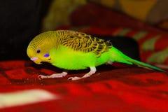 Periquito verde do periquito e amarelo bonito Foto de Stock