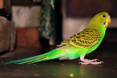 Periquito verde do periquito e amarelo bonito Fotografia de Stock