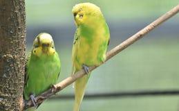 Periquitos comuns verde-claro e amarelos empoleirados em uma árvore Fotografia de Stock Royalty Free