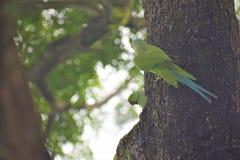Periquitos de Ringneck do indiano dos pares de Poppi fotografia de stock royalty free