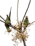 Periquitos del alejandrino que comen en el salvaje fotografía de archivo libre de regalías