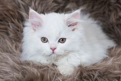 Perisan kitten lying on a sheep fur Stock Image