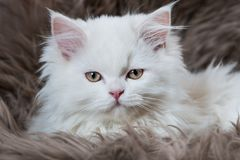 Perisan kitten lying on a sheep fur Stock Photo
