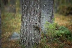 Perisoreus infaustus. Wildlife of Finland. Free nature. From bird life. Autumn Europe. Beautiful picture. Karelia. Europe stock image