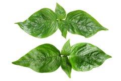 Peristrophe roxburghiana Violet Leaf Stock Photo