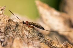 Perithous Ichneumon wasp with long ovipositor Stock Photography
