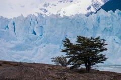 与树的Perito莫尔诺冰川在前景 库存图片