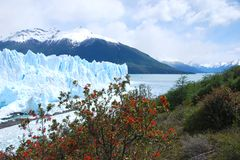 Perito Moreno Glacier. View of Perito Moreno Glacier through bushes with red blossoms Royalty Free Stock Photography