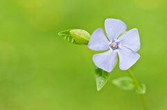 Periwinkle Stock Photo