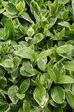 Periwinkle. Beautiful Periwinkle leaves as a background Stock Images