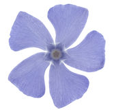 Periwinkle. Studio Shot of  Blue Colored Periwinkle Isolated on White Background. Large Depth of Field (DOF). Macro Stock Photo