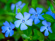 Periwinkle. Growing in the meadow Stock Photo
