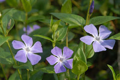 Periwinkle. This is a periwinkle (Vinca minor) in bloom. Violet flowers are situated against green leaves background Stock Photo