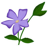 Periwinkle Royalty Free Stock Photography