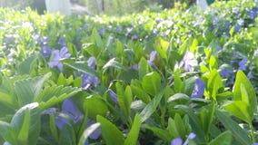 Periwinkle. Beatiful spring periwinkle Royalty Free Stock Image