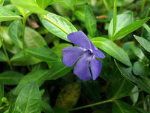 Periwinkle. Blooming in my garden Royalty Free Stock Photos