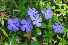 Periwinkle Stock Image