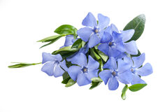 Periwinkle blue flower Royalty Free Stock Images