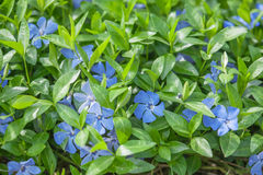 Periwinkle. Blue periwinkle flowers close up Royalty Free Stock Photos