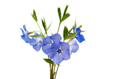 Periwinkle blue isolated Stock Image