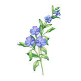 Periwinkle. Branch of first spring flowers - Vínca mínor. Periwinkle. Branch of first spring flowers - Vínca mínor. Hand drawn watercolor Royalty Free Stock Photography