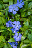 Periwinkle Royalty Free Stock Photos