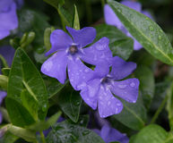Periwinkle close-up Royalty Free Stock Photography