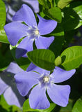 Periwinkle - close-up Royalty Free Stock Images