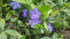 Periwinkle. Fkowers royalty free stock image