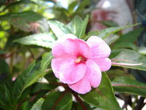 Periwinkle flower. This is a periwinkle flower in bloom, this plant is a perinial plant Stock Photos