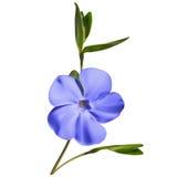 Periwinkle flower Stock Photos