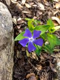 Periwinkle flower. A blue periwinkle flower next to a boulder Royalty Free Stock Photography