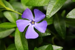 Periwinkle flower royalty free stock photography