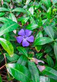 Periwinkle flower in the forest in the sunny day. Vinca minor, lesser periwinkle or dwarf periwinkle stock image